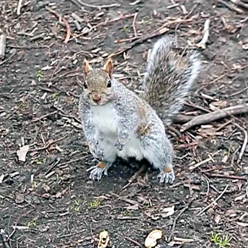 Facts About The Squirrel Joseph Morris