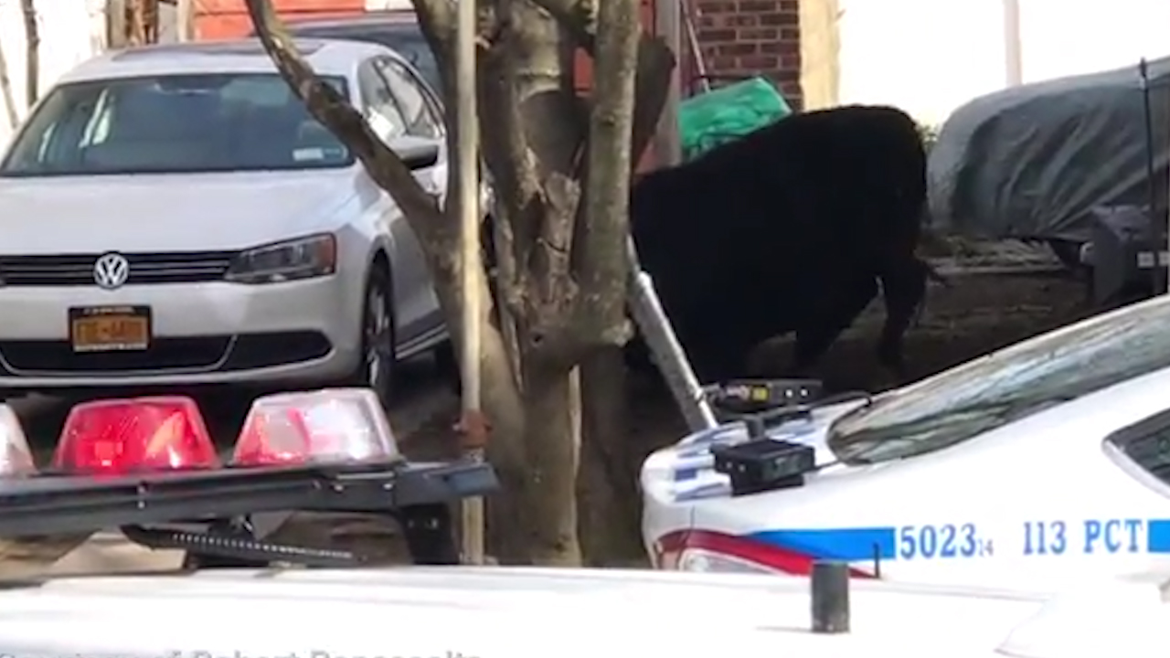 New York Cow Runs From Queens Slaughterhouse: Bull dies after running loose in Jamaica